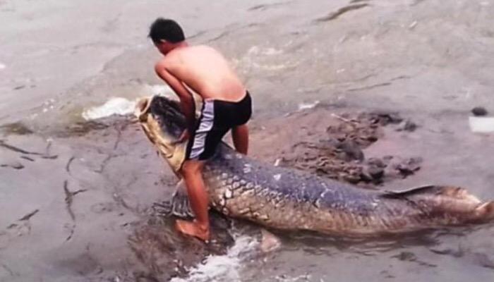 Heboh Ikan Raksasa Terdampar di Sungai Ciliwung